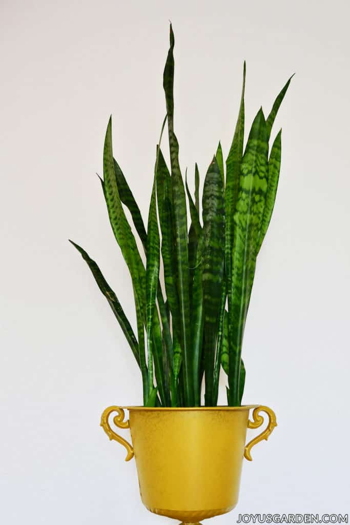 Snake Plant: How to Care for this Diehard Houseplant