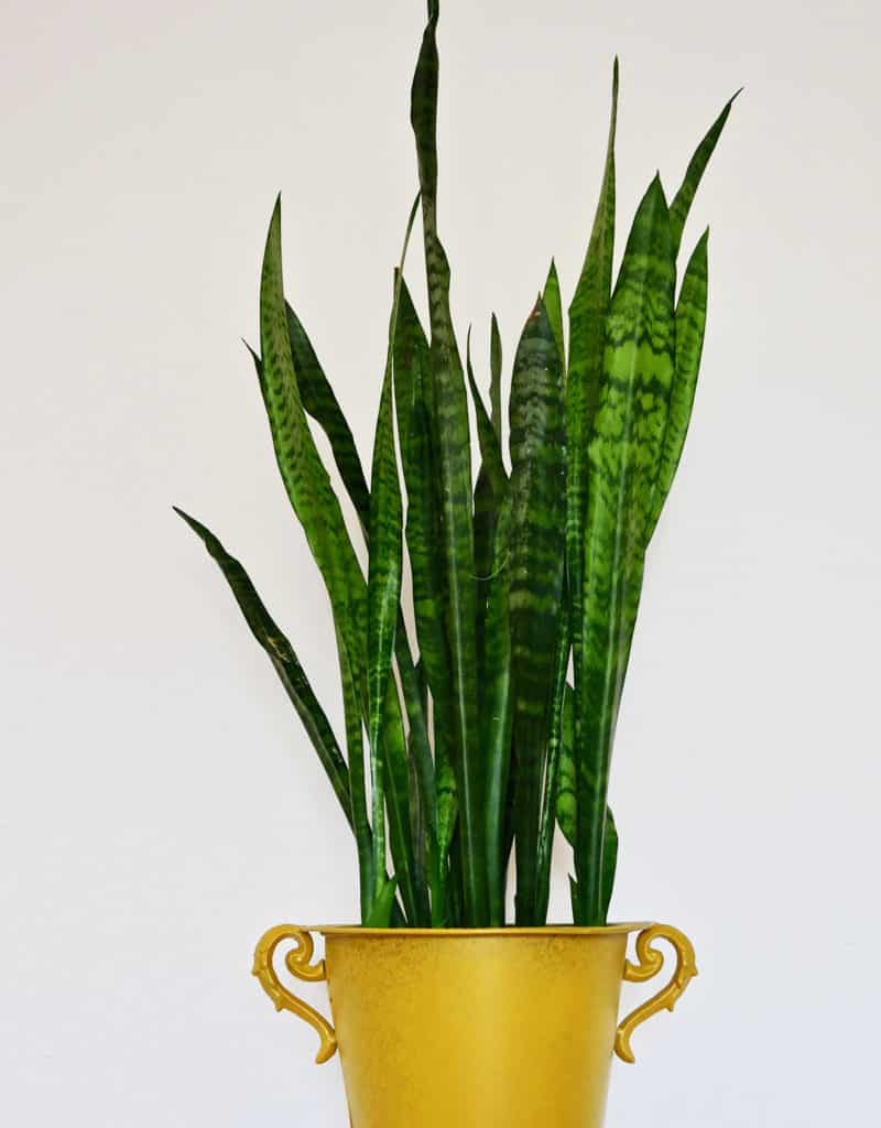 a tall snake plant sansevieria grows in a gold urn pot