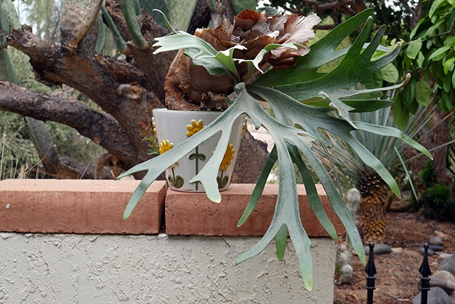 How I Potted My Staghorn Fern To Grow In The Desert