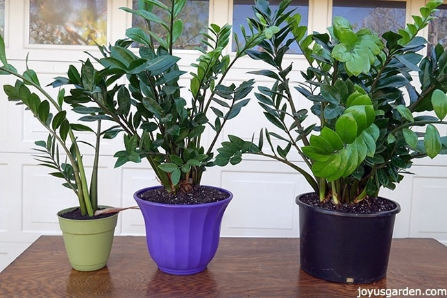 3 ZZ Plants have been divided from 1 plant. The smallest ZZ Plant is in a light green pot, the medium sized ZZ Plant is in a purple pot & the largest ZZ Plant is in a black pot