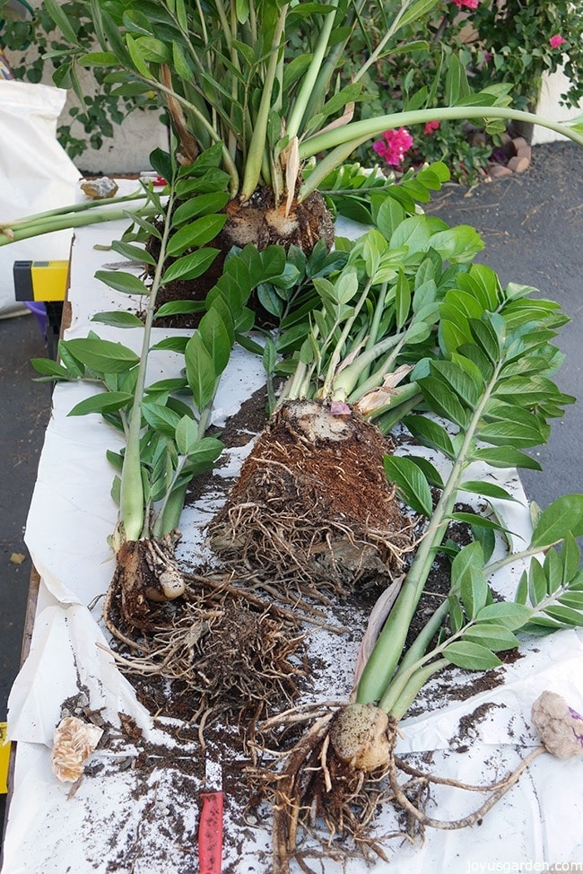 A ZZ Plant has been divided into 4 plants The fleshy roots & rhizomes are exposed