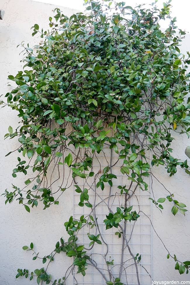 Pruning A Star Jasmine Vine: When & How To Do It