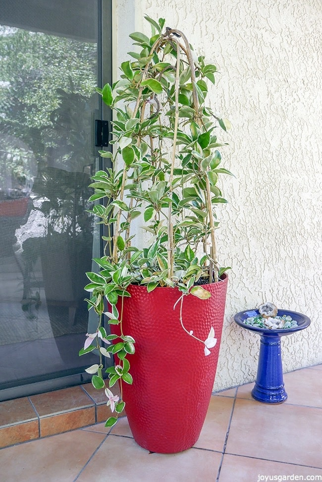 A beautiful Hoya plant panted as a topiary inside a tall cylindrical red pot