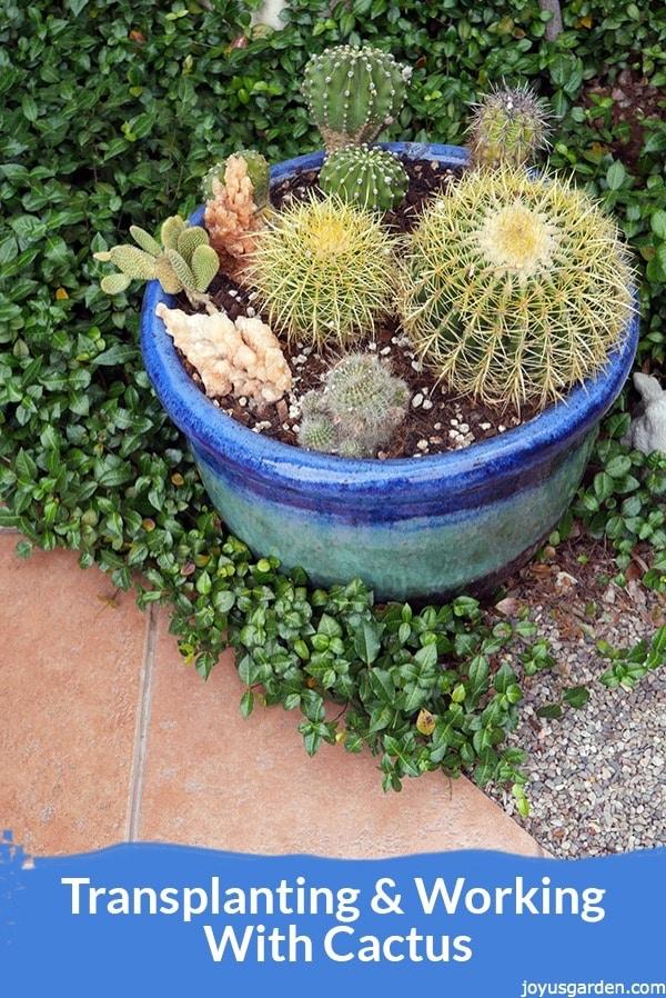 Transplanting Cactus: A Mixed Planting Starring Golden Barrel Cacti