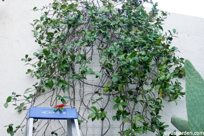 The Left Side Of A Star Jasmine Vine Has Not Been Pruned Right