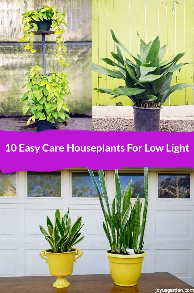 two pothos neon a cast iron plant and two snake plants in yellow pots the text reads 10 easy care houseplants for low light