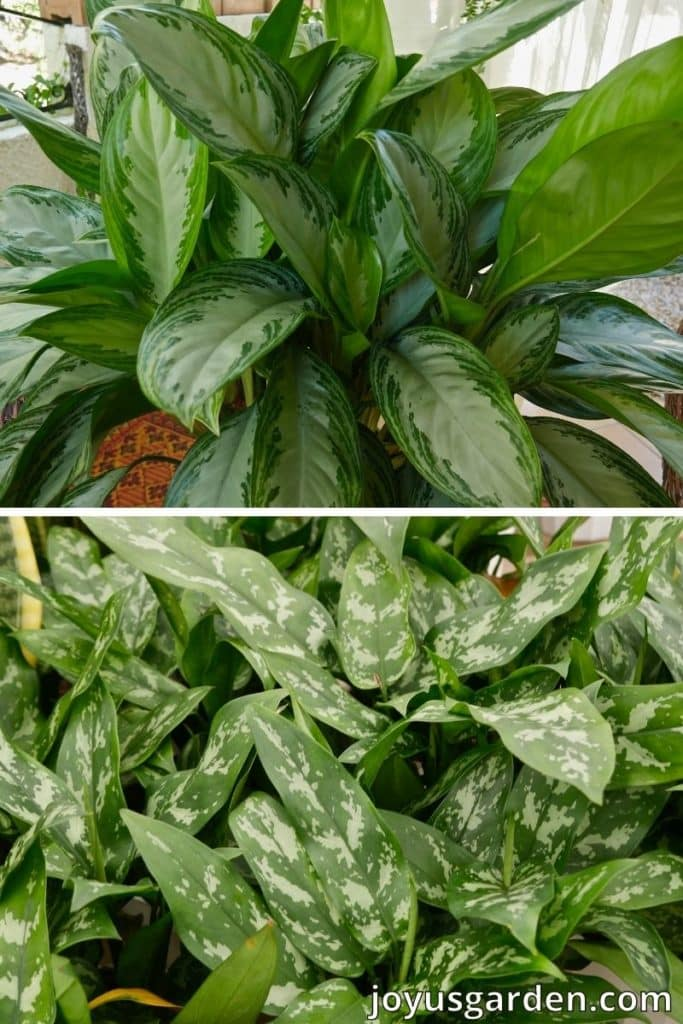 close up of 2 Aglaonemas Chinese evergreen plants