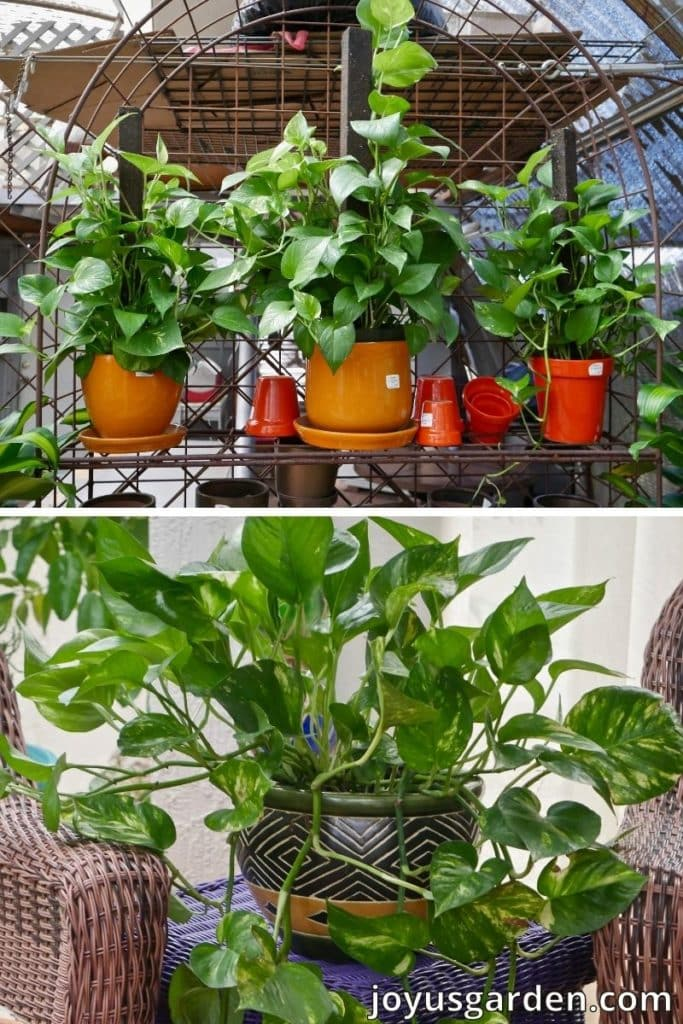 4 pothos plants 3 are growing on stakes & 1 is trailing