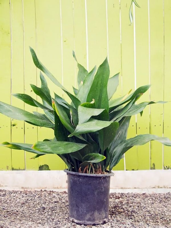 A Large Cast Iron Plant In Grow Pot Against Chartreuse Background The Dark Green Leaves