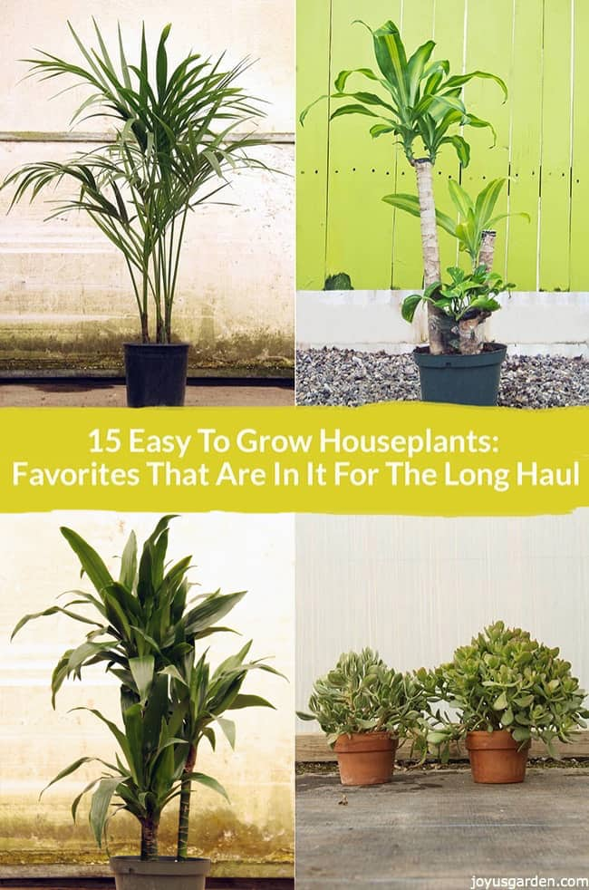 a kentia palm, dracaena massangeana,a dracaena lisa & 2 jade plants the text reads 15 easy to grow houseplants favorites that are in it for the long haul