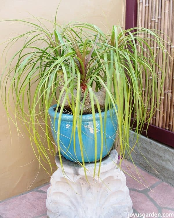 a three headed ponytail palm growing outdoors on in a beautiful turquoise pot on a concrete pedestal