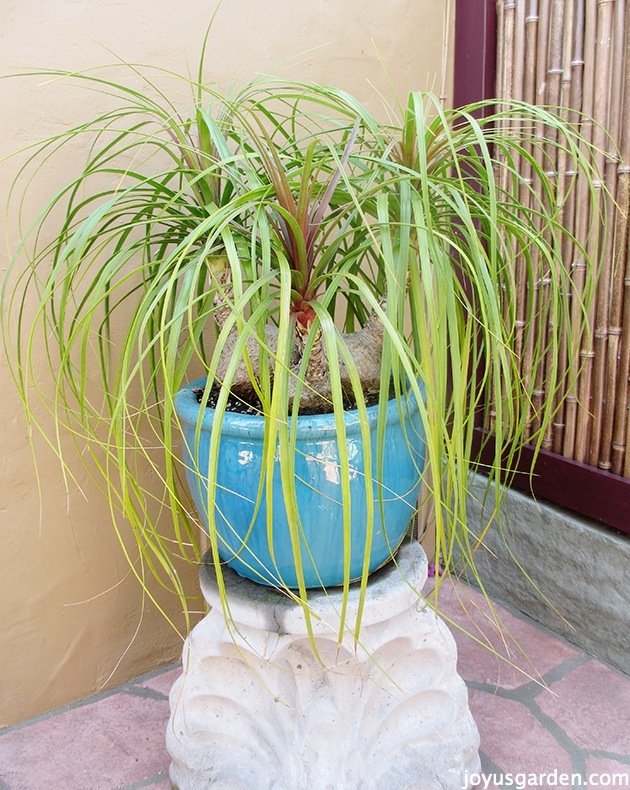 three headed ponytail palm outdoors in a beautiful turquoise pot