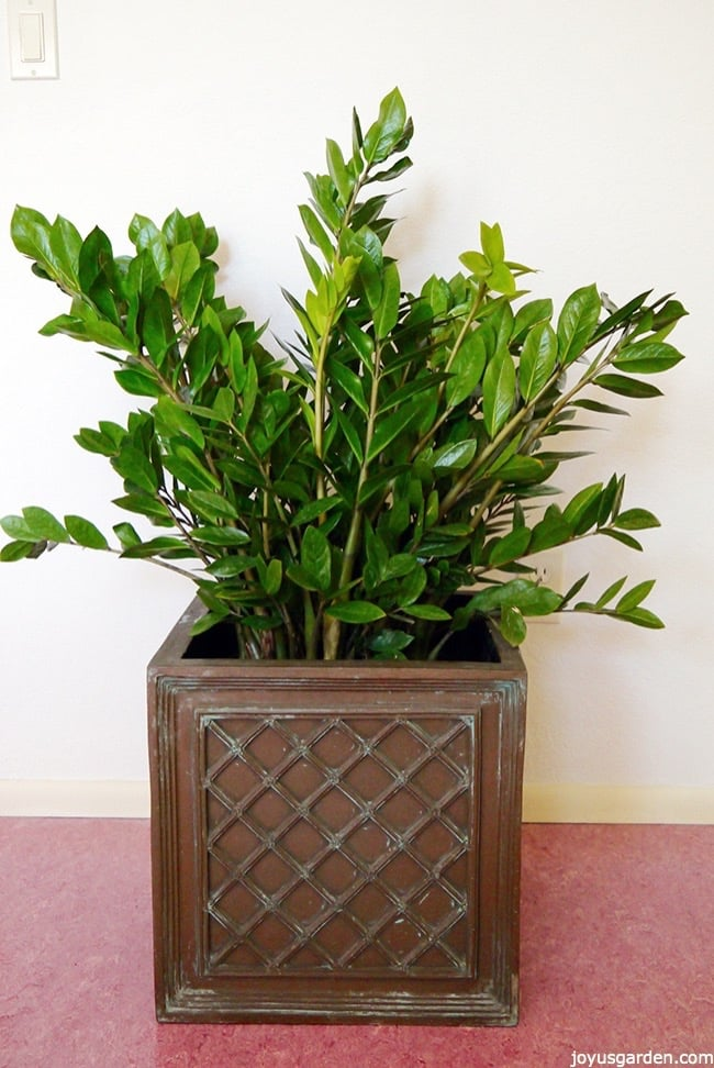 A large ZZ plant in a square pot, its leaves are glossy and shiney