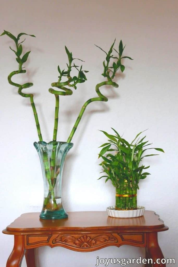 2 lucky bamboo plants growing in water on a table