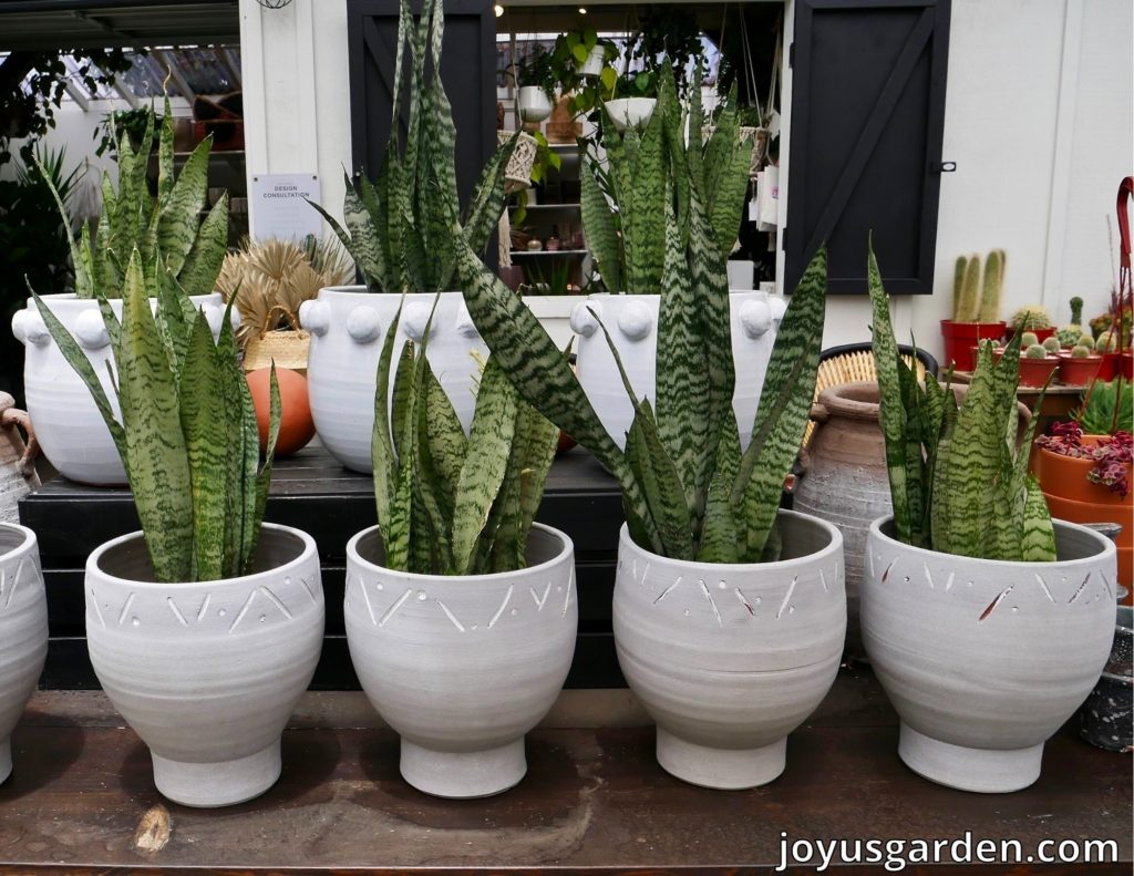4 small snake plants sansevierias in white pots