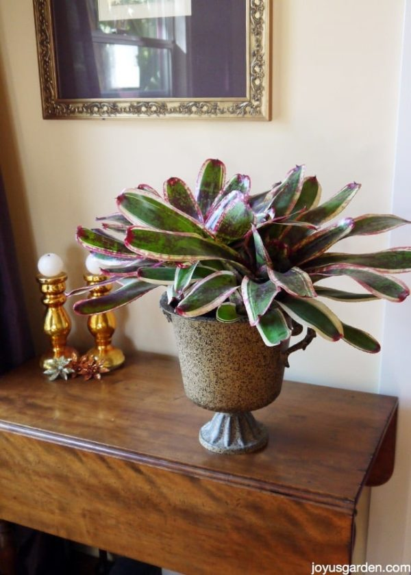 a neoregelia bromeliad in an urn container on top of a table close to a window
