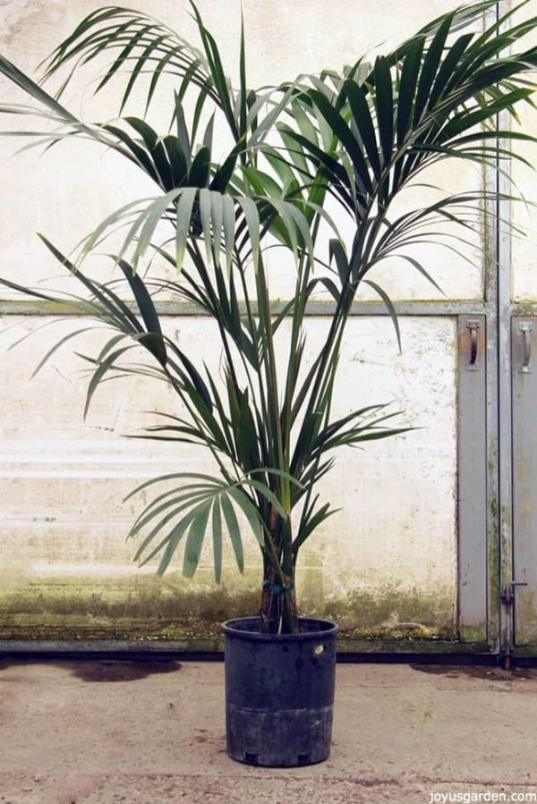 5 feet tall Kentia palm in a greenhouse with lots of fronds
