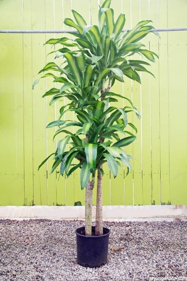 five feet tall corn plant its leaves are long and chartruse green the backdrop is a rustic light green color which accents the plant