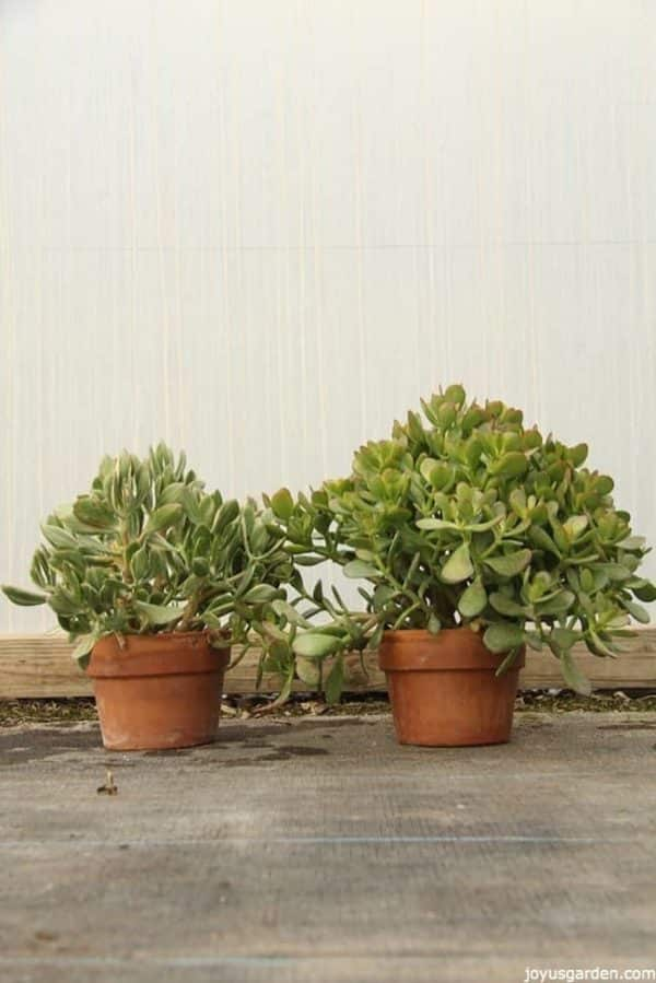 two Jade Plants planted in small terracota pots the plants look healthy and fleshy