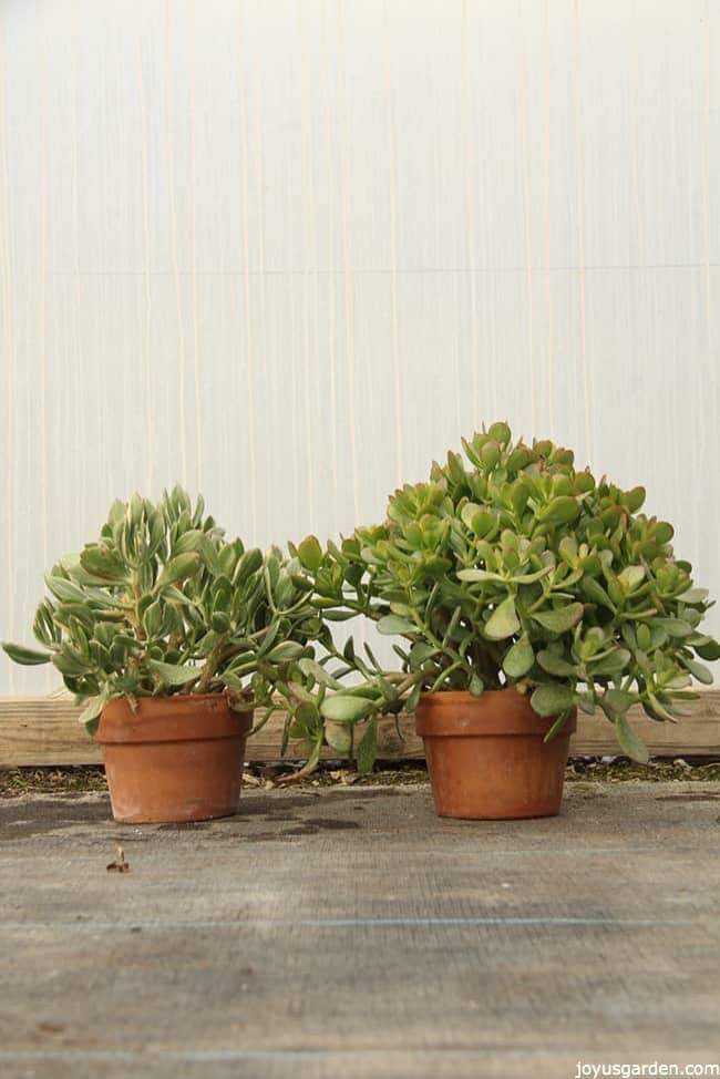 two Jade Plants planted in small terracota pots the plants are small size but look healthy and fleshy