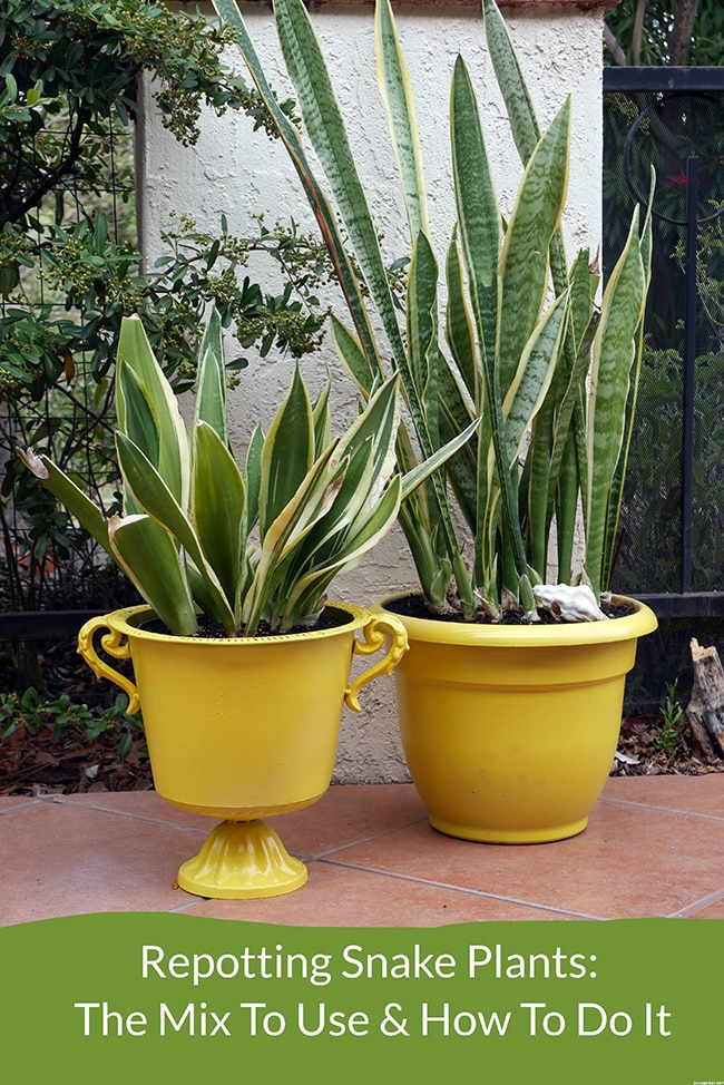 two yellow planters an urn and a cylindrical pot they are planted with two different varieties of snake plants Repotting Snake Plants The Mix To Use How To Do It