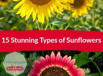 15-Stunning-Types-of-Sunflowers-here-banner-showcasing-a-yellow-sunflower-on-top-and-a-red-one-at-the-bottom