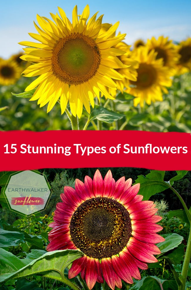 15 Stunning Types Of Sunflowers Here Banner Showcasing