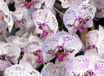 Closeup of lots of orchids blooms, the color of the flower is withe with purple dots. There's a text below that reads How Often To Water Your Phalaenopsis Orchids Plus All The Things You Need To Consider