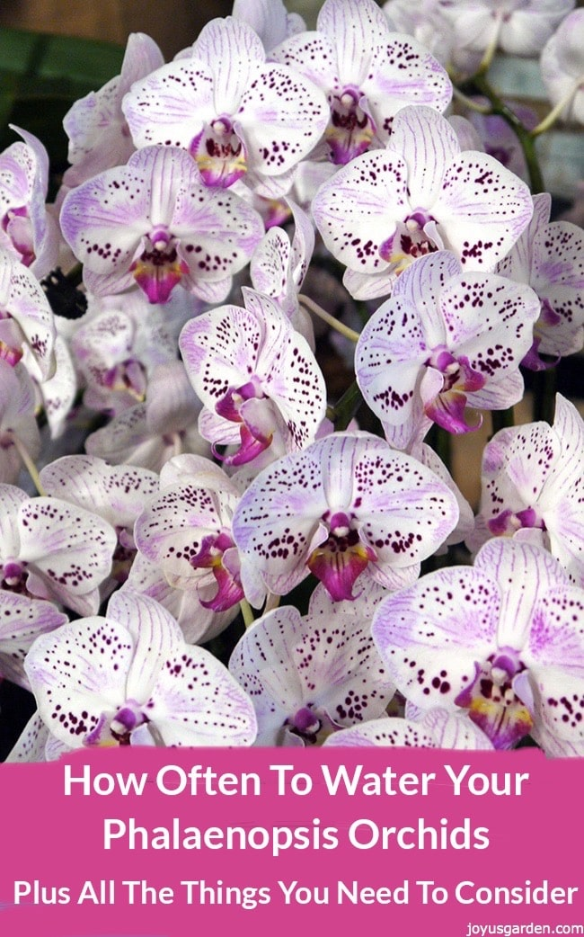 How Often To Water Your Phalaenopsis Orchids Joy Us Garden