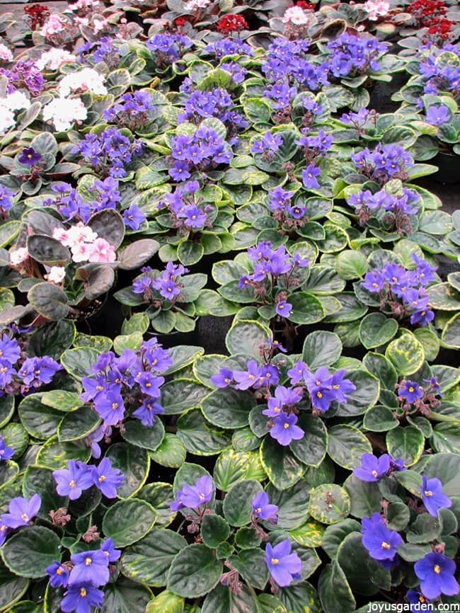 lots of purple, pink & red african violets in full bloom in a greenhouse