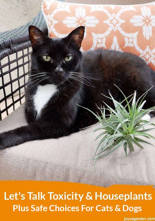 a black cat sitting on a love seat next to an air plant at the bottom theres an orange band with a text on top that reads Let's Talk Toxicity & Houseplants Plus Safe Choices For Pets