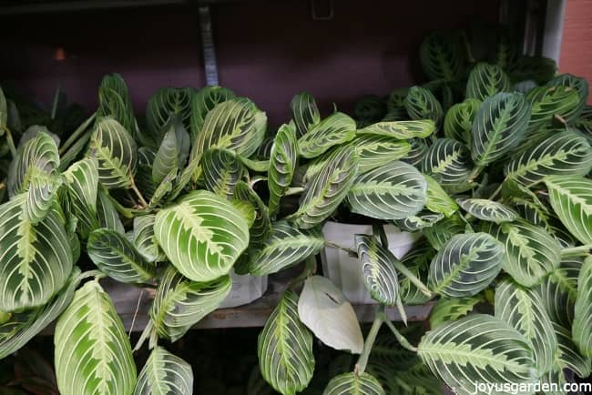 Prayer plants on a shelf in the greenhouse with beautifully patterned leaves