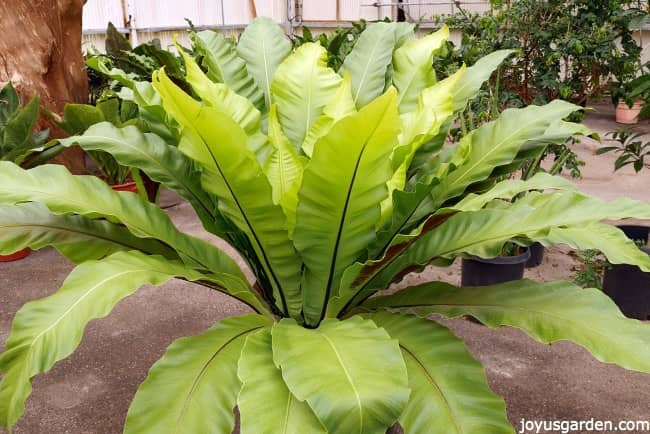 a large specimen birds nest fern in a greenhouse