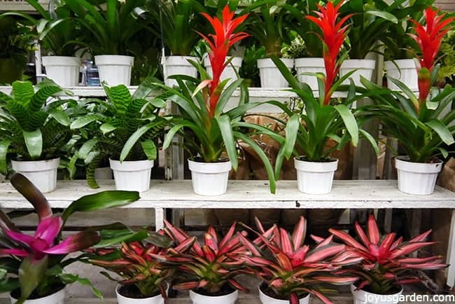 lots of different bromeliads in white pots on shelves