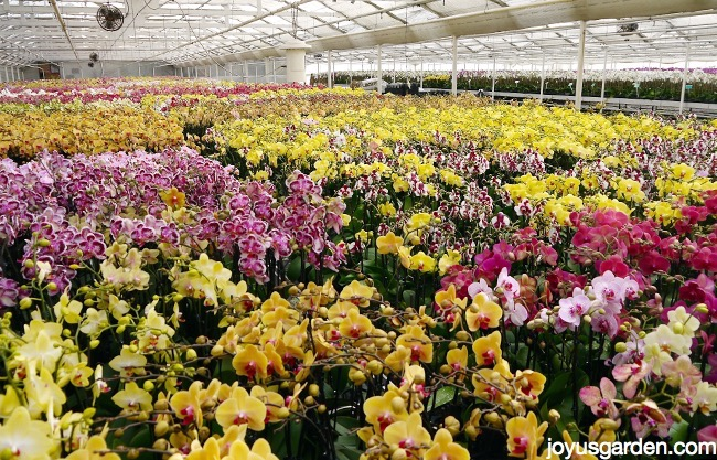 thousands of orchids in a greenhouse