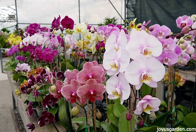 Lots of Phalaenopsis Orchids in different colors and varieties on display the greenhouse