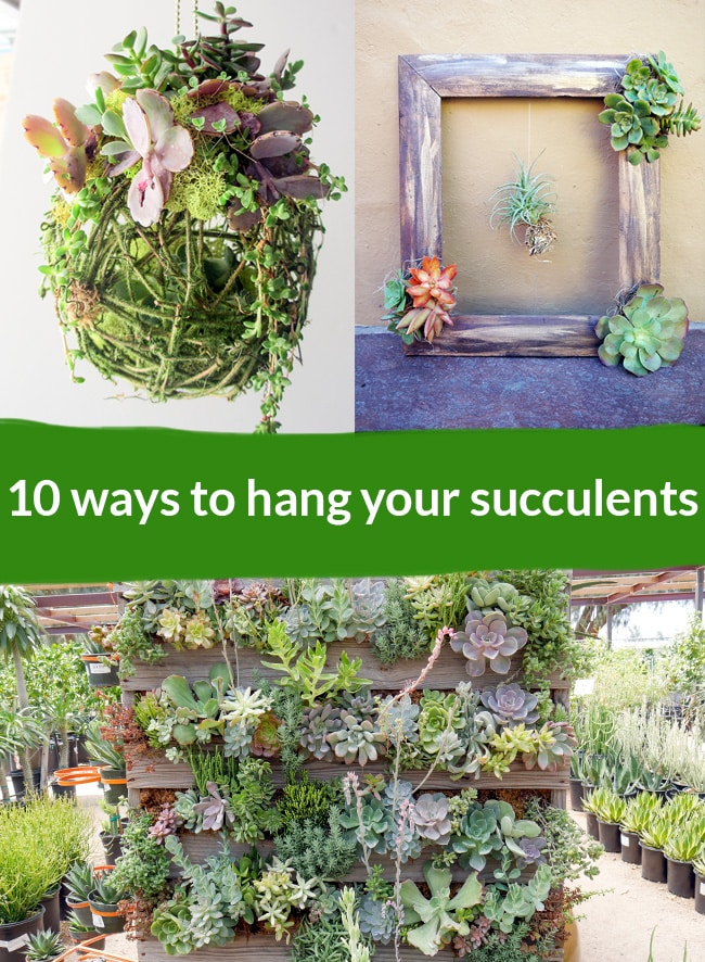 a kissing ball filled with succulents next to a frame filled with succulents at the bottom theres a pallet structure filled with succulents print text says 10 ways to hang your succulents