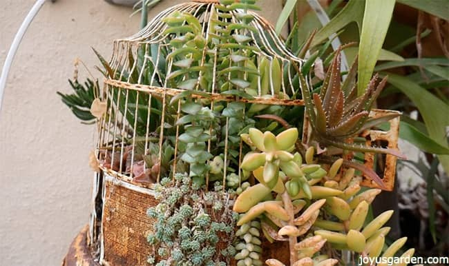 closeup picture of different succulents planted inside an old bird cage