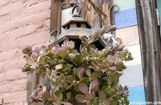 succulents planted in an old traditional lantern