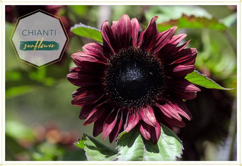 sunflower chianti has burgundy petals and almost black center this is a picture of a single flower