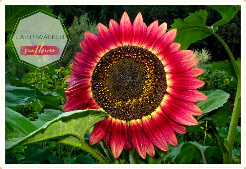 sunflower earthwalker has red petals that become yellow at the tip where it attaches to the center this is a gorgeous colorful one