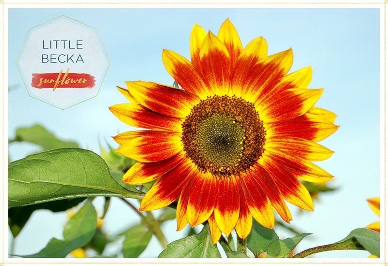 sunflower little becka has ombre petals from yellow to red ba