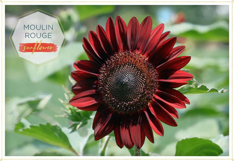sunflower moulin rouge has velvety deep red petals and a blackish red center