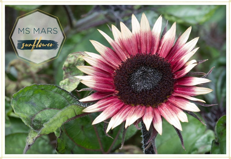sunflower ms mars has ombre petals from red to white the center of the flower is almost black