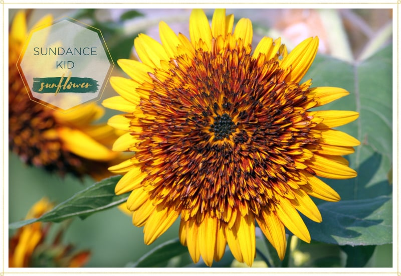 sunflower sundance kid has quite the unusual look with juxtaposes petals that goes from yellow to orange to brown