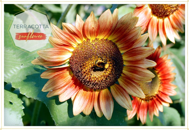 sunflower-terracotta has terracota petals with yellow tips and a brown-yellow center this one is on the bright sun