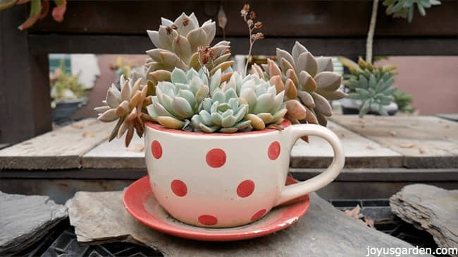 various succulents planted inside a white and red polka dots mug