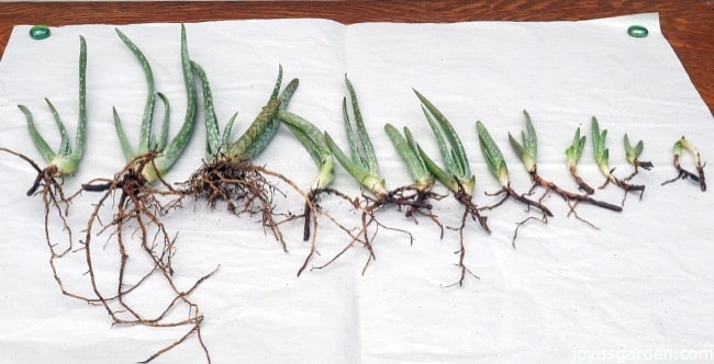 Aloe vera pups with roots are lined on on a piece of white paper on a work table. some of the Aloe vera pups are big & some are small