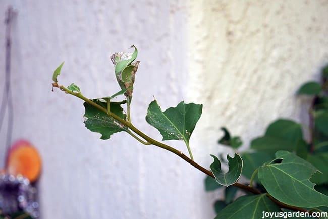 chewed leaves on my bougainvillea caused by the leaftier caterpillar