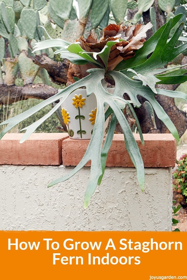 How to grow a staghorn fern indoors for What plants can i grow indoors